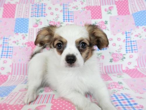 パピヨンの子犬(ID:1244711717)の3枚目の写真/更新日:2021-05-12