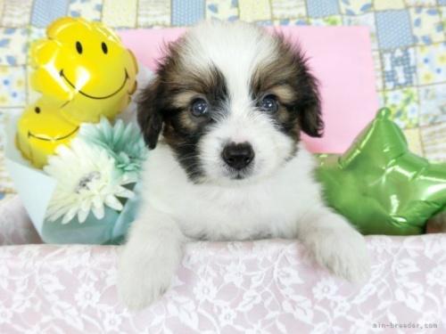 パピヨンの子犬(ID:1244711718)の2枚目の写真/更新日:2019-03-25
