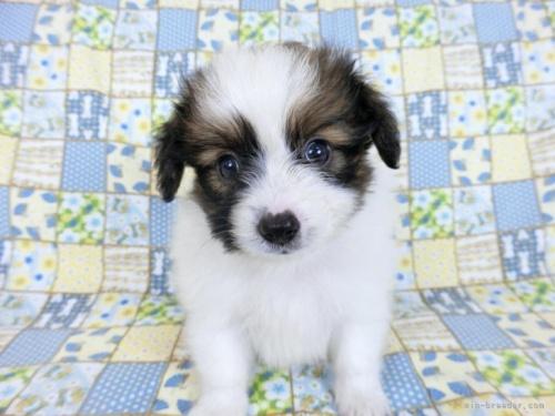 パピヨンの子犬(ID:1244711718)の3枚目の写真/更新日:2019-08-20