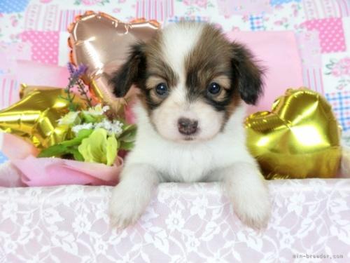 パピヨンの子犬(ID:1244711719)の2枚目の写真/更新日:2018-05-01