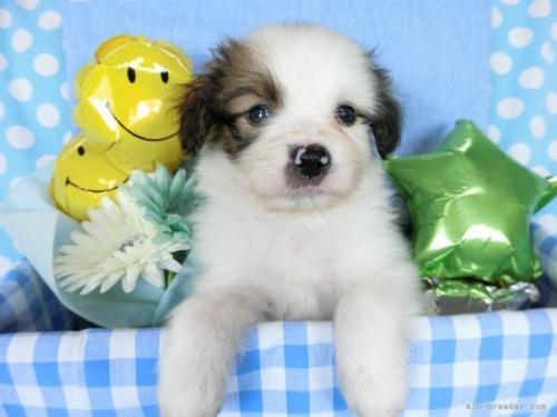 パピヨンの子犬(ID:1244711720)の2枚目の写真/更新日:2018-05-01