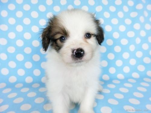 パピヨンの子犬(ID:1244711720)の3枚目の写真/更新日:2018-05-01