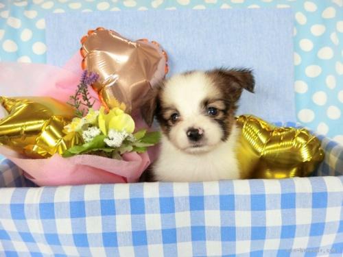 パピヨンの子犬(ID:1244711721)の2枚目の写真/更新日:2018-05-01