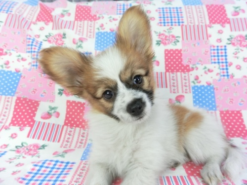 パピヨンの子犬(ID:1244711722)の2枚目の写真/更新日:2018-05-01