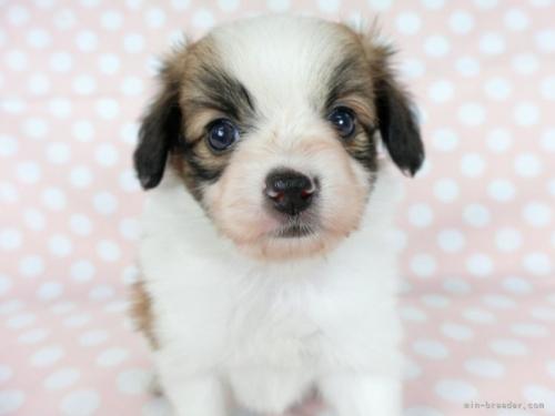 パピヨンの子犬(ID:1244711722)の3枚目の写真/更新日:2020-10-12