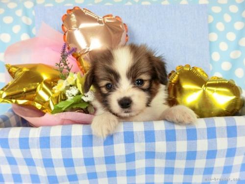 パピヨンの子犬(ID:1244711723)の2枚目の写真/更新日:2018-05-14