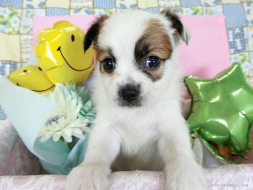 パピヨンの子犬(ID:1244711724)の2枚目の写真/更新日:2018-05-14