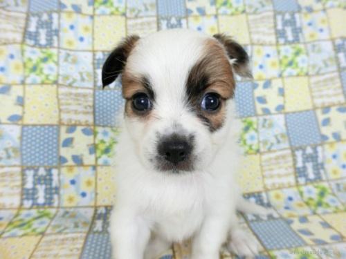 パピヨンの子犬(ID:1244711724)の3枚目の写真/更新日:2019-09-25