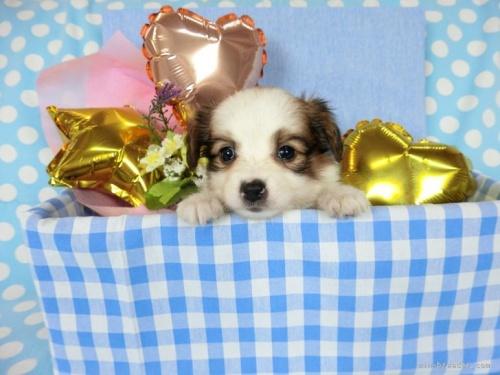 パピヨンの子犬(ID:1244711725)の2枚目の写真/更新日:2021-04-19