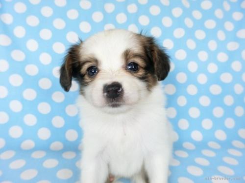 パピヨンの子犬(ID:1244711725)の3枚目の写真/更新日:2018-05-28