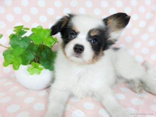 パピヨンの子犬(ID:1244711726)の2枚目の写真/更新日:2021-03-18