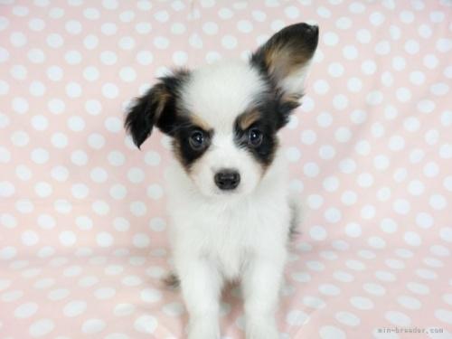 パピヨンの子犬(ID:1244711726)の3枚目の写真/更新日:2021-03-18