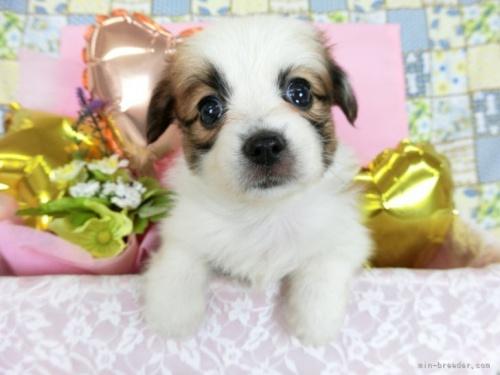 パピヨンの子犬(ID:1244711727)の2枚目の写真/更新日:2018-05-28