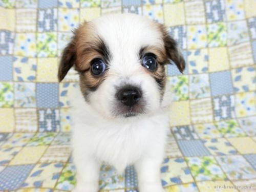 パピヨンの子犬(ID:1244711727)の3枚目の写真/更新日:2021-04-19