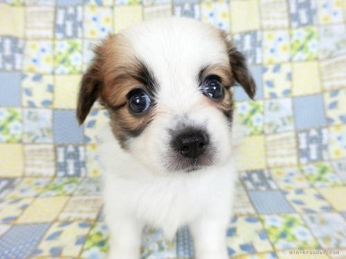 パピヨンの子犬(ID:1244711727)の4枚目の写真/更新日:2021-04-19