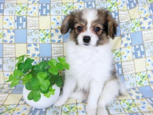 パピヨンの子犬(ID:1244711728)の2枚目の写真/更新日:2019-09-04