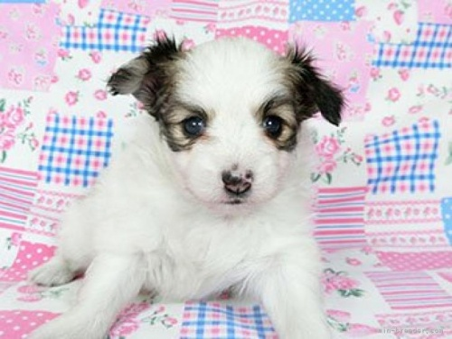 パピヨンの子犬(ID:1244711729)の2枚目の写真/更新日:2018-05-28