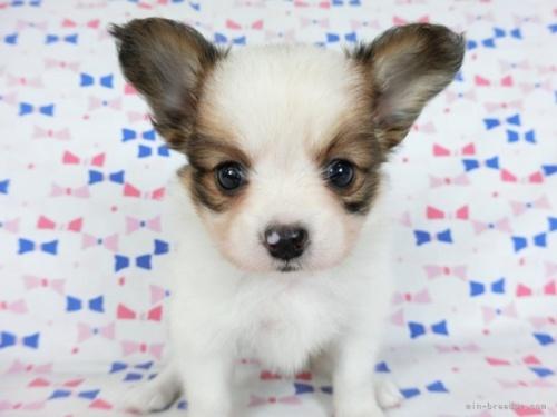 パピヨンの子犬(ID:1244711729)の3枚目の写真/更新日:2019-12-09
