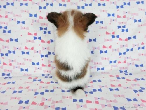 パピヨンの子犬(ID:1244711729)の4枚目の写真/更新日:2018-05-28