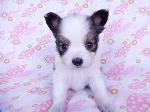 パピヨンの子犬(ID:1244711731)の2枚目の写真/更新日:2021-04-02