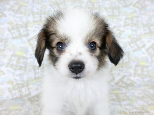パピヨンの子犬(ID:1244711731)の3枚目の写真/更新日:2021-04-02