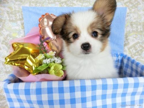 パピヨンの子犬(ID:1244711732)の2枚目の写真/更新日:2021-04-02