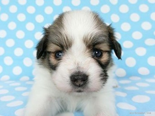 パピヨンの子犬(ID:1244711732)の3枚目の写真/更新日:2021-04-02