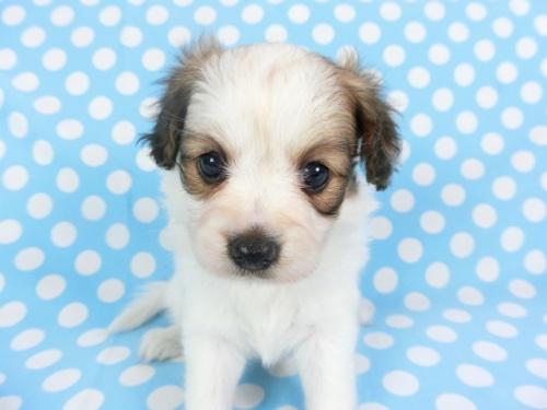 パピヨンの子犬(ID:1244711734)の1枚目の写真/更新日:2018-05-28