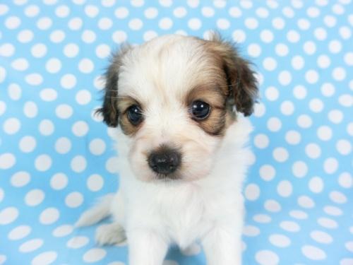 パピヨンの子犬(ID:1244711734)の2枚目の写真/更新日:2018-05-28