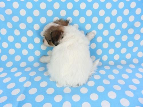 パピヨンの子犬(ID:1244711734)の3枚目の写真/更新日:2018-05-28