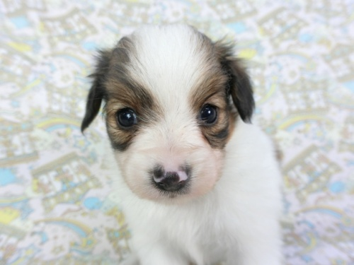 パピヨンの子犬(ID:1244711735)の1枚目の写真/更新日:2020-09-10