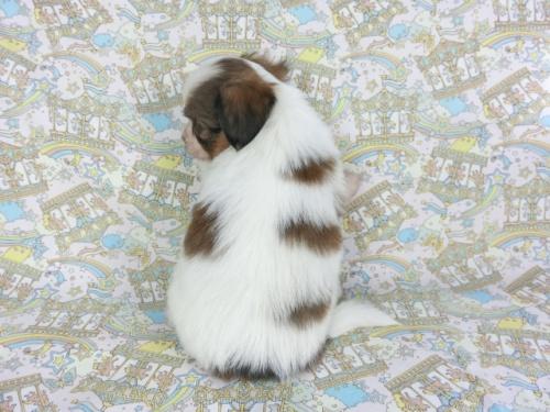 パピヨンの子犬(ID:1244711735)の2枚目の写真/更新日:2018-06-19
