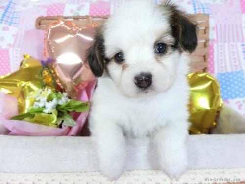 パピヨンの子犬(ID:1244711737)の2枚目の写真/更新日:2021-03-18