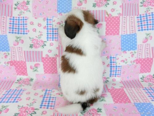 パピヨンの子犬(ID:1244711737)の3枚目の写真/更新日:2021-03-18