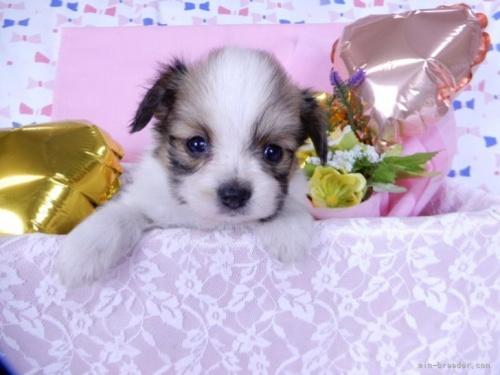 チワワ(ロング)の子犬(ID:1244711738)の2枚目の写真/更新日:2020-08-30