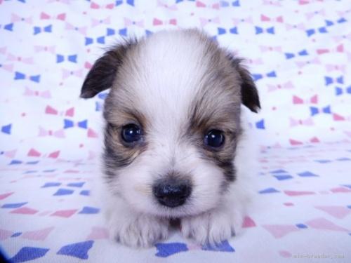 チワワ(ロング)の子犬(ID:1244711738)の3枚目の写真/更新日:2020-08-30