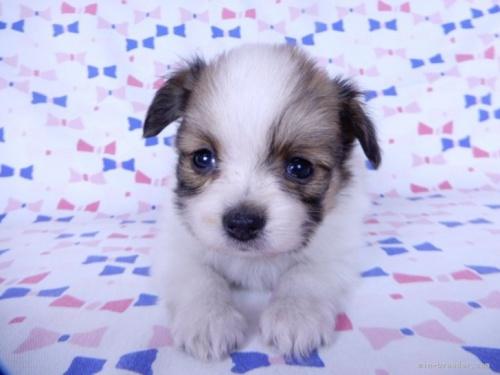 チワワ(ロング)の子犬(ID:1244711738)の4枚目の写真/更新日:2021-06-28
