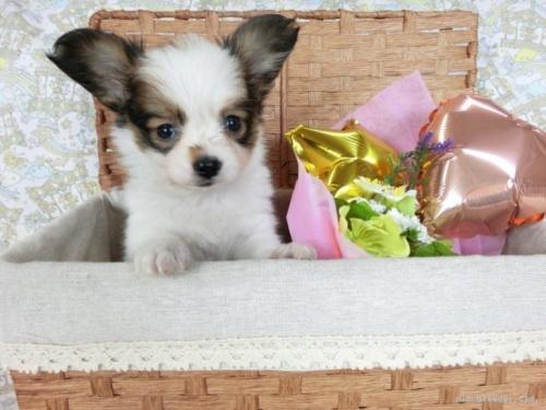 チワワ(ロング)の子犬(ID:1244711740)の2枚目の写真/更新日:2020-12-07