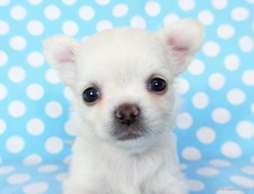 チワワ(ロング)の子犬(ID:1244711741)の2枚目の写真/更新日:2020-12-07