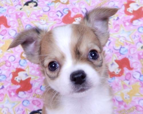 チワワ(ロング)の子犬(ID:1244711742)の1枚目の写真/更新日:2021-03-18