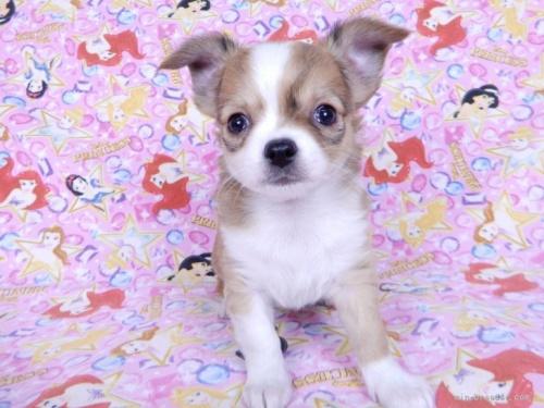 チワワ(ロング)の子犬(ID:1244711742)の2枚目の写真/更新日:2021-05-05