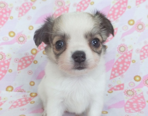 チワワ(ロング)の子犬(ID:1244711743)の1枚目の写真/更新日:2021-03-09