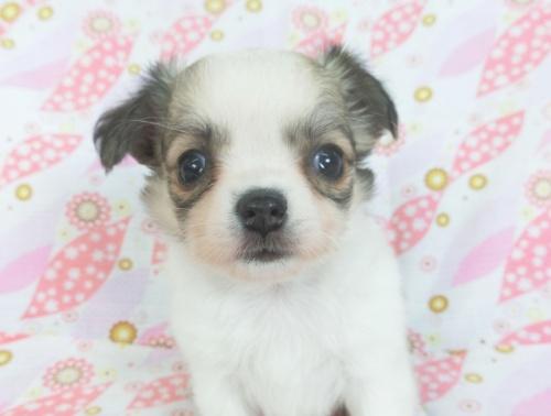 チワワ(ロング)の子犬(ID:1244711743)の2枚目の写真/更新日:2021-03-09