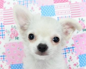 チワワ(ロング)の子犬(ID:1244711744)の1枚目の写真/更新日:2021-05-05
