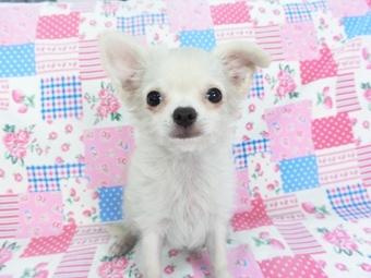 チワワ(ロング)の子犬(ID:1244711744)の2枚目の写真/更新日:2021-05-05