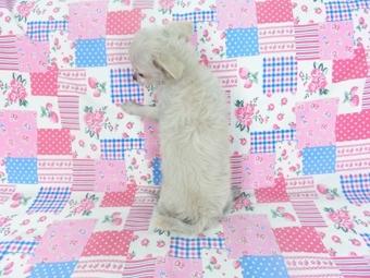 チワワ(ロング)の子犬(ID:1244711744)の3枚目の写真/更新日:2021-05-05