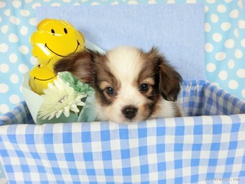 パピヨンの子犬(ID:1244711745)の2枚目の写真/更新日:2021-04-02