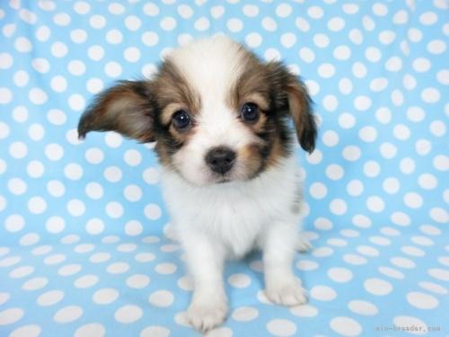 パピヨンの子犬(ID:1244711745)の3枚目の写真/更新日:2021-04-02