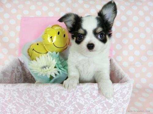 チワワ(ロング)の子犬(ID:1244711746)の2枚目の写真/更新日:2020-12-07