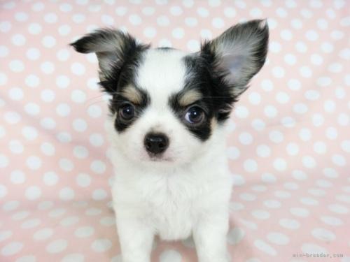 チワワ(ロング)の子犬(ID:1244711746)の3枚目の写真/更新日:2020-12-07